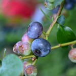 Blueberry Picking (and a link-up)